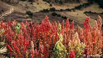 Θάμνοι κινόα στο Περού