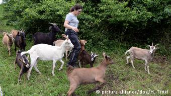 Η Σόνια Κιρς καθοδηγεί τις κατσίκες της για τον καθαρισμό των ζιζανίων