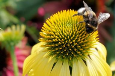 hummel_insect_sun_hat_flower_blossom_bloom_plant_garden-4353391546680938